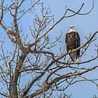 Bald Headed Eagle in Tree by Patrick Kavanagh