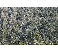 Lost in Pine Photographic Print