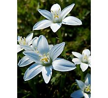 STAR OF BETHLEHEM FLOWERS IN THE FIELD Photographic Print