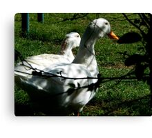DUCKS IN SOFT LIGHT Canvas Print