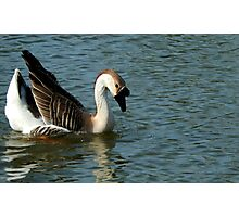 DUCK SWAN ON THE WATER Photographic Print