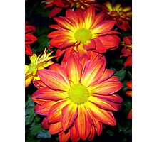 Two Semi-double Chrysanthemum Photographic Print