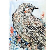 Red Wattlebird Photographic Print