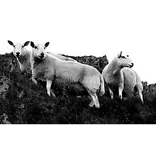 Herdwick Sheep in the Lake District National Park, UK Photographic Print