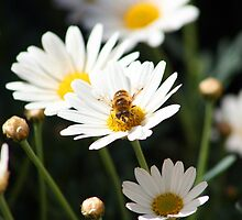 Bee Covered in Pollen by rhamm