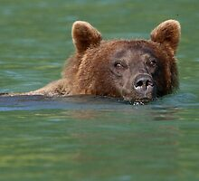 Grizzly Bear Swimming by William C. Gladish