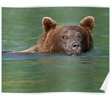 Grizzly Bear Swimming Poster