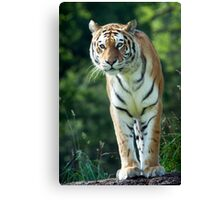 The Stance Of A Tiger Canvas Print