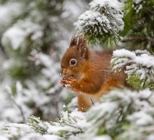 Red squirrel in Winter snow by MichaelConrad