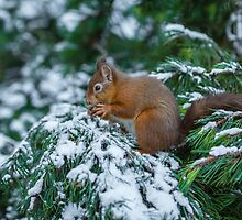 Red squirrel in snow covered pine tree by MichaelConrad