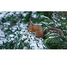 Red squirrel in snow covered pine tree Photographic Print