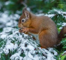 Red squirrel in snow covered pine tree Sticker