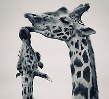 Giraffes in love by Darek Renke