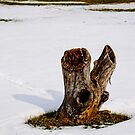 A STUMP IN THE SNOW by Pauline Evans