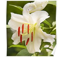 Natural Beauty White Star Lily Poster
