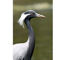Demoiselle Crane - (Anthropoides virgo) Photographic Print