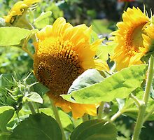 Heirloom Mammoth Sunflowers by HeelerRunGarden