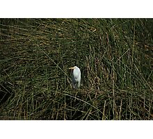 Snowy Egret in Reeds Photographic Print