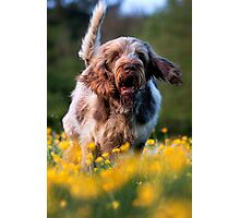 Brown Roan Italian Spinone Dog Photographic Print