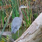 Blue Heron by Steve Hunter