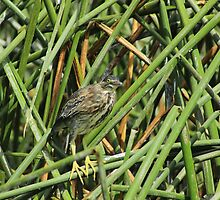 Striated Heron Perched in Reeds by rhamm