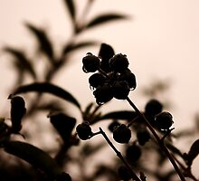raindrops and hedge berries by dedmanshootn