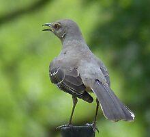 Mockingbird On A Spring Day~2 by Penny Odom