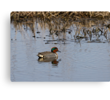 Drake Green-winged Teal 2 Canvas Print