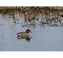 Drake Green-winged Teal 2 Photographic Print