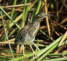 Striated Heron in Reeds by rhamm