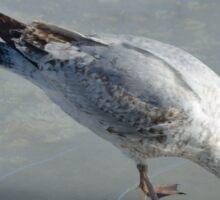 ring-billed gull Sticker