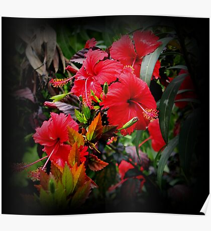 Red Red Hibiscus In The Galapagos Poster