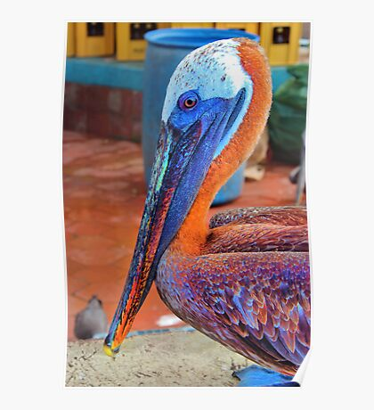 Galapagos Brown Pelican Waiting For A Free Meal Poster