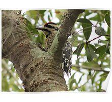 Woodpecker eating dinner Poster