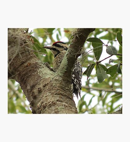 Woodpecker eating dinner Photographic Print