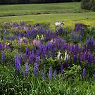 White Horse in a Lupine Field by Wayne King