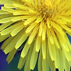 Dandelion bloom by RosiLorz