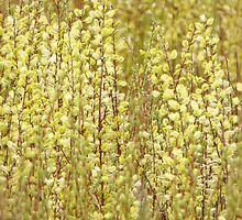 Marsh Willow by lorilee