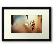 A Green-veined White (Pieris napi)...  Framed Print