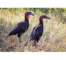 Southern-ground hornbill Photographic Print