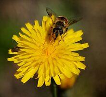 Bee on a Dandelion  by D-GaP