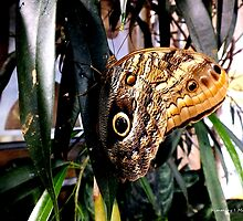 Owl Eye Butterfly On A Leaf by Kimmary