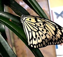 Chinese Yellow Swallowtail by Kimmary