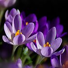 Purple Crocuses by jacqi