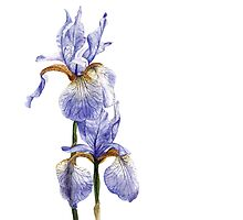 Iris Watercolour by Debbie Jew