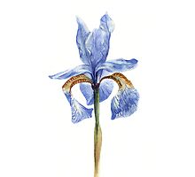 Single Iris by Debbie Jew