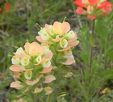 Paleface Indian Paintbrush by Navigator