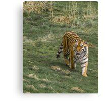 Tiger Walk Canvas Print