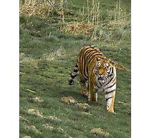 Tiger Walk Photographic Print