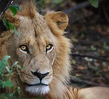 Lion Eyes by Owed To Nature